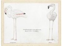 study of a male and female greater flamingo (phoenicopterus ruber) by french school (17)