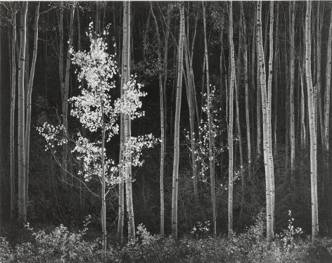 aspens northern new mexico by ansel adams