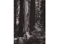 redwoods, richardson grove, california by ansel adams