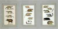 étude de rongeurs, hérisson, petit félin, ocelot (3 works mntd together) by jean gabriel prêtre