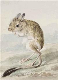 a pale kangaroo mouse (microdipodops pallidus) by aert schouman