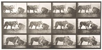 lioness walking; lion lying down, plate 727 by eadweard muybridge