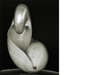 shell by edward weston