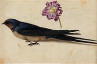 a swallow and a double gilliflower (study) by jacques le moyne (de morgues)