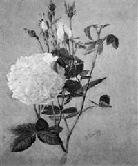 weiße rosen by ferenc komlosy