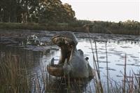 hippo by robert leggat