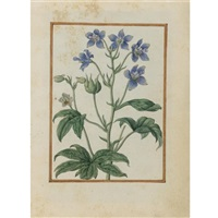 staversacre, delphinium staphisagria by jacques le moyne (de morgues)