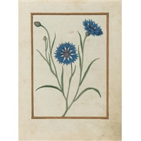 cornflower by jacques le moyne (de morgues)