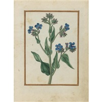 bugloss by jacques le moyne (de morgues)