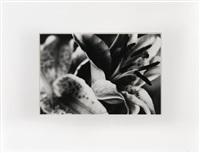 aus der serie lilien by maria theresia litschauer