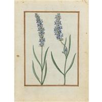 lavender by jacques le moyne (de morgues)