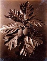 phalaenopsis grandiflora (+ artocarpus incise; 2 works) by charles t. scowen (scowen & co.)