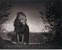 lion before storm i, maasai mara by nick brandt