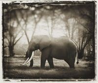 elephant with big tusks, ngorongoro crater by nick brandt
