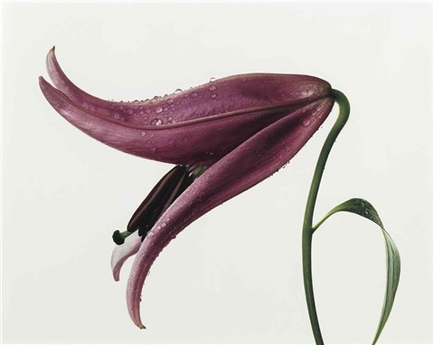 lily imperial pink new york by irving penn