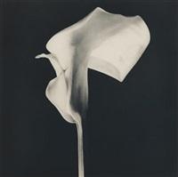 black calla lily by robert mapplethorpe