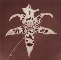 red orchid by robert mapplethorpe