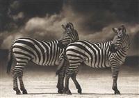 zebras turning heads, ngorongoro crater by nick brandt