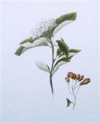 crataegus aria, white beam by louisa, countess of aylesford