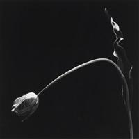 tulip by robert mapplethorpe