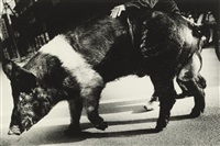 swine, aomori, japan by daido moriyama