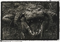 large crocodile, 15-16 feet, uganda (leviathan) by peter beard