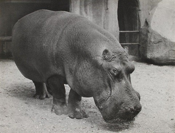 vincennes zoo. paris. hippopotame by lisette model