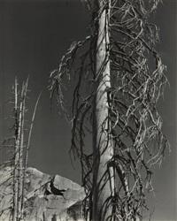 trees, lake tenaya by edward weston