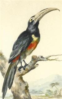 a toucan (pteroglossus aracari) on a branch by aert schouman