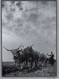 hungarian grey cattle by ferenc aszmann