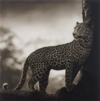 leopard in crook of tree, nakuru by nick brandt