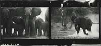 elephant herd at buffalo springs by peter beard