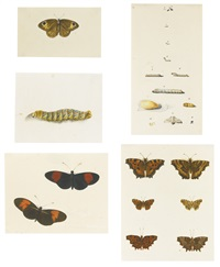 butterflies and caterpillars (5 works) by continental school (19)