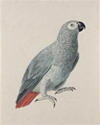 un perroquet gris du gabon by aert schouman