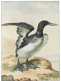 seashore birds including an oyster catcher, a scoter, a gull, a great northern diver and a pair of redshanks (7 works) by aert schouman