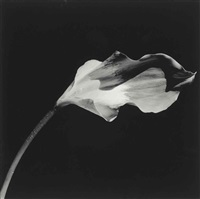 calla lilly by robert mapplethorpe