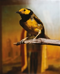 hodded warbler ii by andres serrano