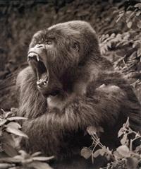 gorilla baring teeth, parc des volcans by nick brandt