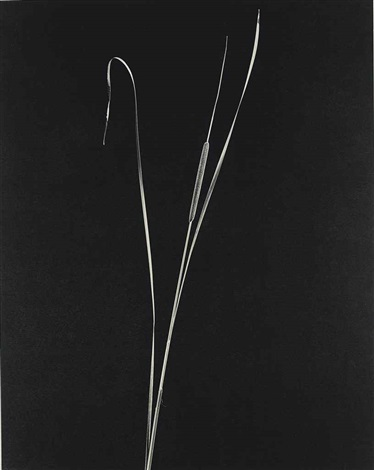 cattail by robert mapplethorpe