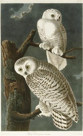 snowy owl pl cxxl after john james audubon by robert havell jr