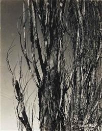 poplars, lake george, c. 1936 by alfred stieglitz