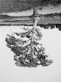oak trees, red bluff (5) by rodney graham