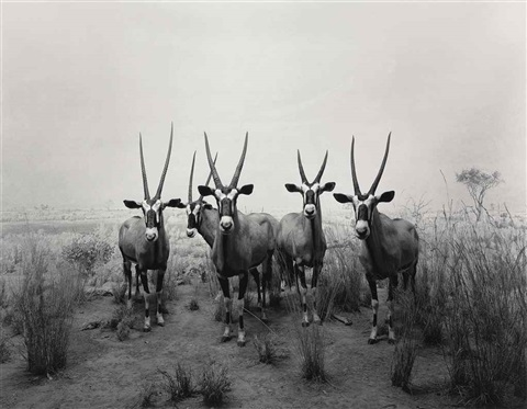 gemsbok from the series dioramas by hiroshi sugimoto