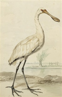 study of a spoonbill crane by aert schouman