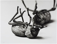 tenebrionidae, asbolus verrucosus death feigning beetle- silverlake, california, october 1, 1996 by christopher williams