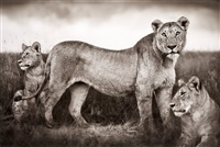 lion family portrait, masai mara, 2004 by nick brandt