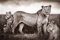 lion family portrait, masai mara, 2004 by nick brandt
