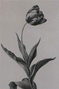 a parrot tulip by (madame) peigne