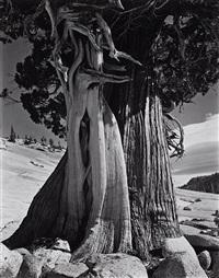 juniper at lake tenaya by edward weston