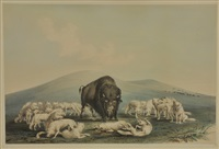 white wolves attacking a buffalo by george catlin